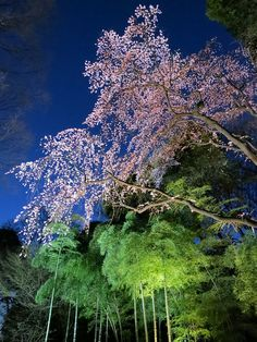 Cherry Blossoms and Bamboo Grove, Rikugien Garden, Tokyo, Japan by ELCAN KE-7A on Flickr
