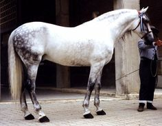 andalusian horse. What a beautiful animal.