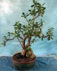 Jade Bonsai, Succulent Bonsai, Bonsai Garden, Planting Succulents, Bonsai Tree Care, Bonsai Tree Types, Bonsai Pruning, Jade Tree, Urban Garden Design