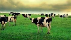 Champ – Herbe – Nuageux – Vaches