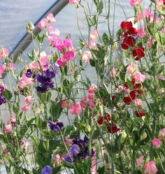 Learn when to plant sweet pea seeds in our How to Grow Sweet Peas guide, and choose Mammoth Blend Sweet Pea Seeds for the largest best sweet pea variety.