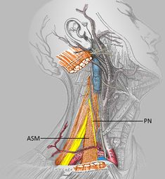 PN = Phrenic nerve. Picture modified from Grays Anatomy Picture provided by Armbruster, Eichholz and Notheisen