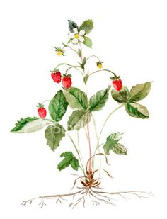 botanical drawing, wild strawberry