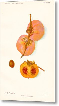 The Josephine American Persimmon Metal Print by Peter Ogden Gallery. All metal prints are professionally printed, packaged, and shipped within 3 - 4 business days and delivered ready-to-hang on your wall. Persimmon Fruit, Yearbook Spreads, Great Artists, Agriculture, Fine Art America, Tapestry, Art Prints, American, Baltimore
