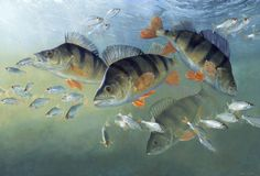 Striped Assassins (Perch) Oil on board SOLD http://www.davidmillerart.co.uk/coarse_fish_paintings.htm Prints Available
