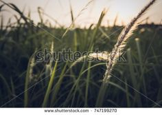 Dramatic nature background of grass field flowers at sunset.