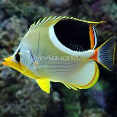 Saddleback Butterflyfish (Chaetodon ephippium)