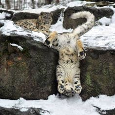 'Snow – photo by HecklingHyena, via deviantART; Snow leopar… 'Snow – photo by HecklingHyena, via deviantART; Snow leopard cubs at Rosamond Gifford Zoo in Syracuse, New York Big Cats, Crazy Cats, Cats And Kittens, Cute Cats, Animals And Pets, Baby Animals, Funny Animals, Cute Animals, Animals In Snow