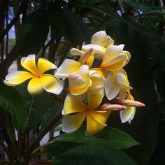 https://flic.kr/p/Ce8kvY | Frangipani ? Gold Coast. Beautiful #upsticksngo #travel #iphonephotography