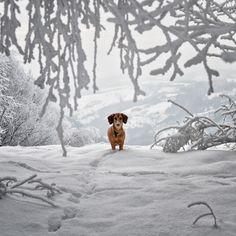 Dachshund in the snow - wiener wonderland