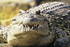 Man-eating crocodiles found in Florida The Burmese python might have to step aside: It's possible the animal is no longer Florida's scariest invasive species. Nile Crocodile, Saltwater Crocodile, Animal Fact File, Animal Facts For Kids, Krokodil Tattoo, American Crocodile, Extinct Animals, Pet Birds, Crocodiles