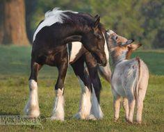 Miniature Sicilian Donkey and Gypsy weanling pals.  by Mark J. Barrett