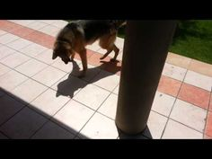 German Shepherd attacking his own shadow. LOVE IT!!!