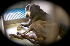 No interest means death, 'Misty' the invisible dog>>URGENT-Please READ AND SHARE for pledges/rescue/foster potential adopters and help if you can>>>status can change anytime>>Don't wait until it's too late. <3