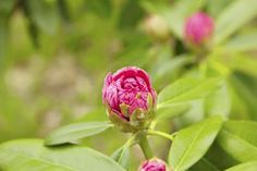 How to Espalier Camellias