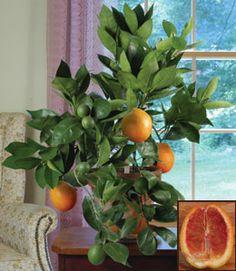 "Blood Orange 'Sanguinelli' 2.5"" Pot $13"