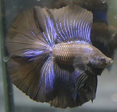 "live betta fish-""HUGE FINS"" Rare super black & metallic doubletail male-"