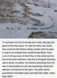 Wonder what life would be like if humans lived like the wolf pack?