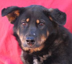 Amarina, rescued junior puppy, a sensitive Australian Shepherd mix recovering from abuse, ready for adoption at Nevada SPCA: http://nevadaspca.blogspot.com/2015/03/amarina.html