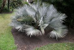 COLD HARDY Brahea decumbens - Palmpedia - Palm Grower's Guide