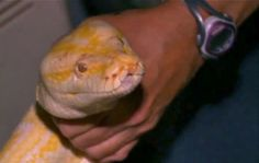 Florida resident finds giant Burmese python in shed