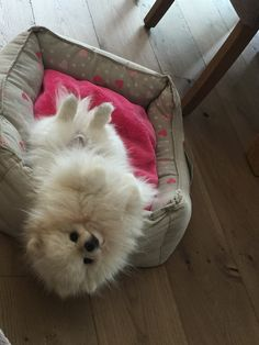 All About Lively Pomeranian Puppy Exercise Needs Cute Puppies, Cute Dogs, Cute Pomeranian, Pomes, Fluffy Dogs, Golden Retriever, Happy Puppy, Dog Runs, Cute Little Animals