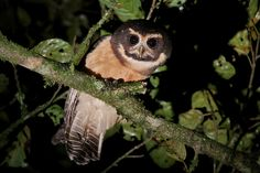 Tawny-browed Owl Pulsatrix koeniswaldiana - Google Search
