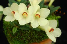 Dendrobium cuthbertsonii - Pale-white Color-form
