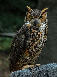 What r u seeing - Owl Beautiful Owl, Animals Beautiful, Cute Animals, Owl Photos, Owl Pictures, Owl Bird, Pet Birds, Great Horned Owl, Tier Fotos