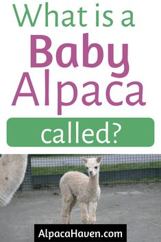 Want to know what a baby alpaca is called? Check out this article for more information about baby alpacas and how to care for them. Baby alpacas are so cute and fluffy! Cute Alpaca, Baby Alpaca, Crying Sound, Alpaca Drawing, All You Need Is, Told You So, Barn Layout, Human Babies, Pig Farming