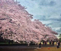 Cherry Blossoms, Tokyo Japan