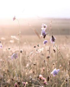 Wild flowers and burnet moths