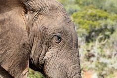 White teardrop on the Elephant's eye  White teardrop on the Elephant's eye standing in the field.