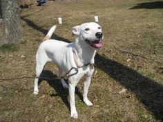 Molly is an adoptable Dalmatian Dog in Bartonsville, PA. Meet Molly. She is a beautiful and graceful dalmation mix. She has webbed toes so we believe she is probably mixed with labrador. She was surre...