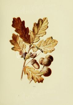 Oak, quercus robur   ...