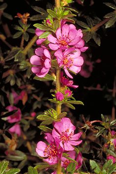 Bauera sessiliflora, also known as the Grampians Bauera, is a shrub that is endemic to the Grampians region in Victoria. It occurs naturally in sheltered, sandy depressions near streams.