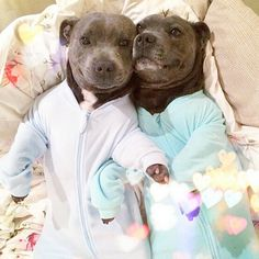 More super cute Pitbull puppies in pj's smiling you say? and to you I say... YES! via http://instagram.com/the_blueboys