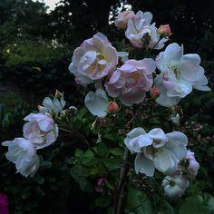 """Good morning #roses #secondflush #inmygarden #instaflowers #instagardens #instaroses #gardensoftheworld #gardensofinstagram #urbangardens #ukgardens…"" Sam Mcknight, Paintings, Future, Instagram Posts, Flowers, Future Tense, Paint, Painting Art, Painting"