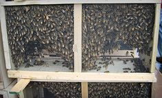 Have you started thinking about early #bee pickup? Starting March 19, 2016 - $99 for 3lbs. http://beewellhoneyfarm.com/beekeeping-supplies/honeybees-sale/