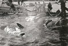 1971 Orca capture off the coast of Washington State (Lolita and Family) Urge the NMFS to Protect Lolita!