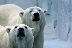 TWO POLAR BEARS (IJsberen)