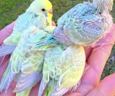 A handful of baby Rainbow Budgies. Pretty Animals, Cute Little Animals, Little Birds, Cute Funny Animals, Cute Birds, Pretty Birds, Beautiful Birds, Animals Beautiful, Cute Creatures