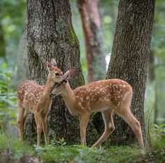 Little Brown Fawns in the Forest - Baby Deer with White Spots Forest Animals, Nature Animals, Animals And Pets, Baby Animals, Cute Animals, Bambi, Oh Deer, Baby Deer, Beautiful Creatures