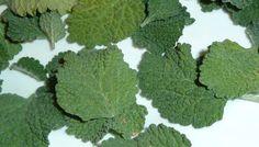 Buena Vida: Esta planta cura inmediatamente el hígado, vesícula y desinflama los intestinos!!