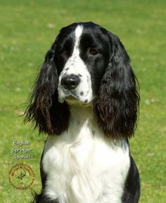 RIP Aja Bywater.  The perfect friend. English Springer Spaniel