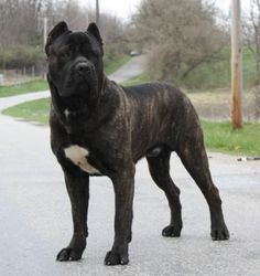 "Cane Corso (the ""other"" Italian Mastiff) - Yahoo! Search Results"