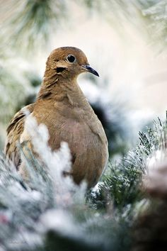 Beautiful Dove by Christina Rollo © www.rollosphotos.com. Close-up portrait of a beautiful Mourning Dove (Zenaida macroura) at rest in snow covered pines.