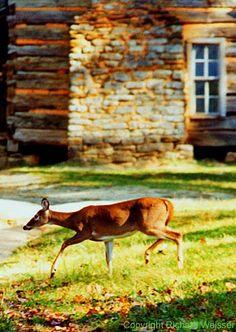 Deer at John Oliver Cabin Cades Cove