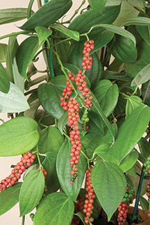 Peppercorns on plant