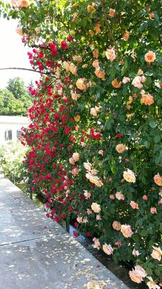 A wall of roses